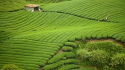 Matcha plantation